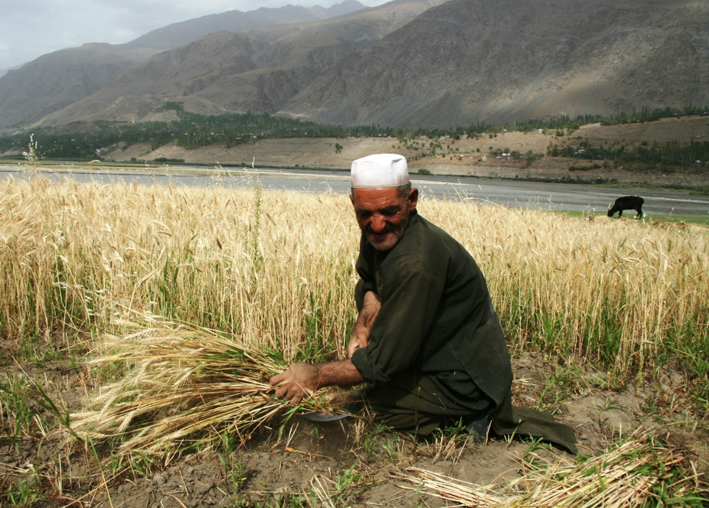 Wheat harvest in 2009 is expected to reduce food insecurity and stabilize food prices in Afghanistan