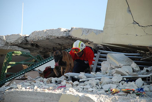 Dogs are searching for survivors in the destroyed remains of Port-au-Prince. Seach and rescue operations are under way on 15 January 2010. The city was hit by a 7.3 magnitude earthquake on 12 January