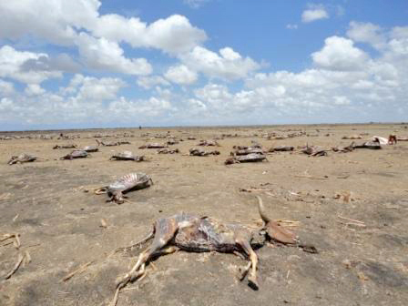 Cattle carcasses in Deemay village of Koryoley district in the lower Shabelle region in Somalia