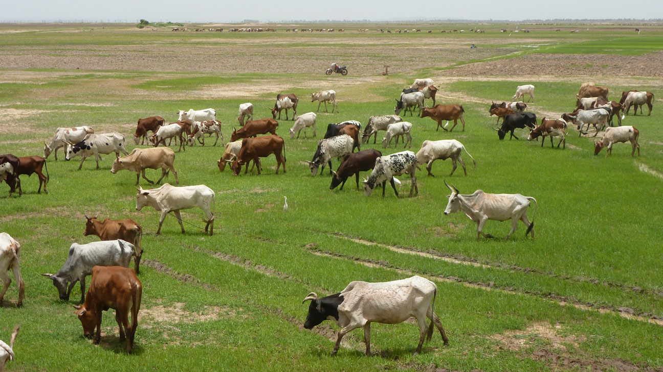 These cattle are eating the first pasture of the 2012 rainy season. But their owners are unable to head north to seek pasture there for  fear Islamists will steal their flocks. Mopti region