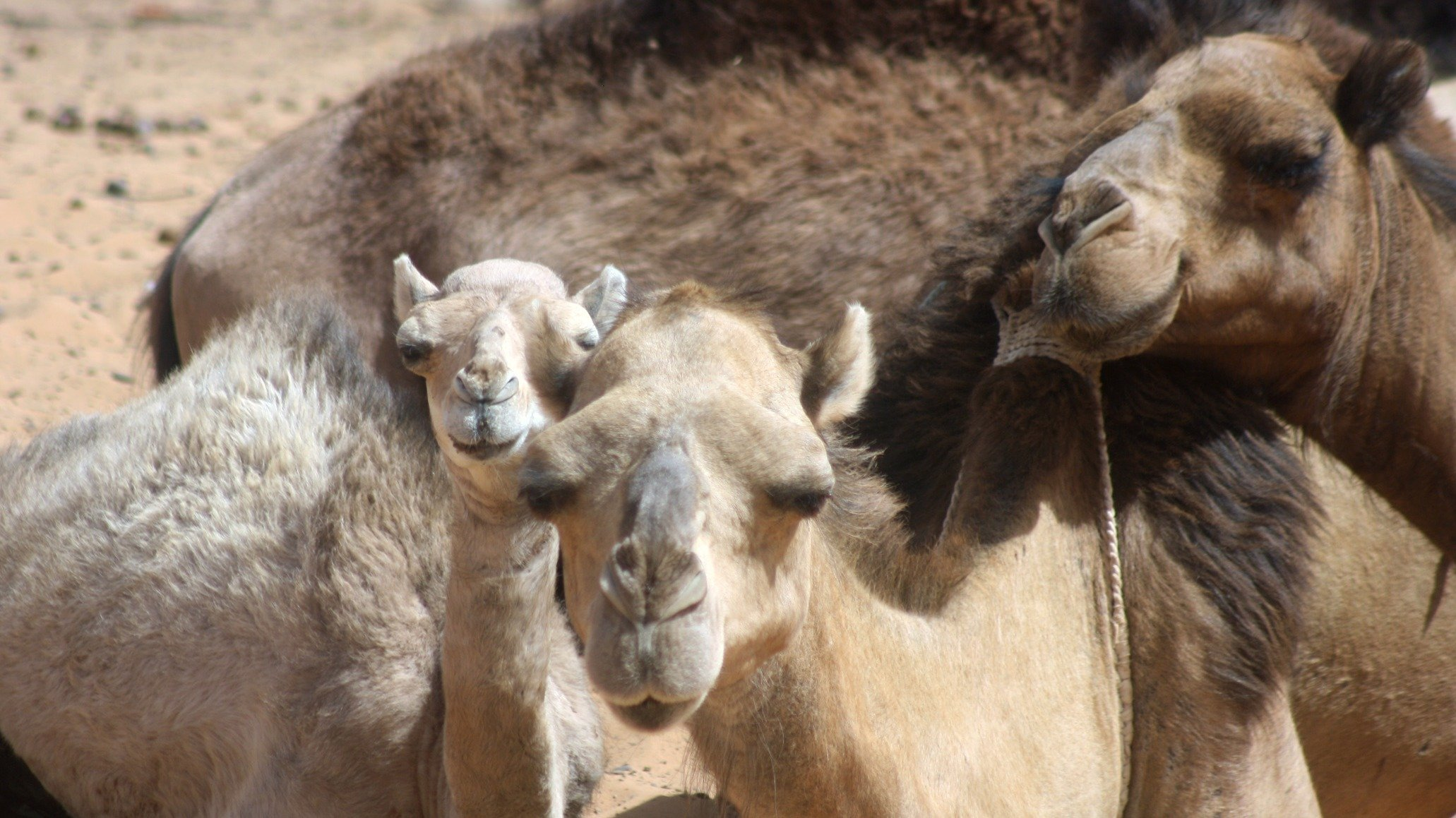 Mauritania is home to Africa first camel milk dairy