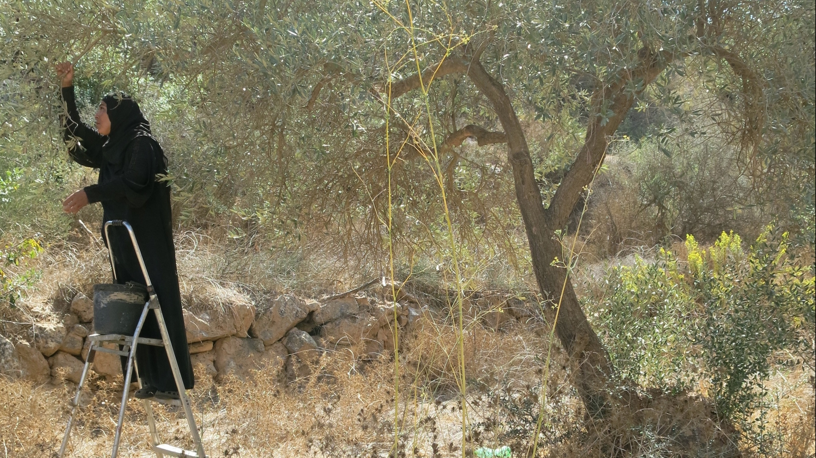 Palestinian olive pickers are often attacked by Israeli settlers. Yet some Israelis work with Palestinians to protect them and help them pick the harvests.