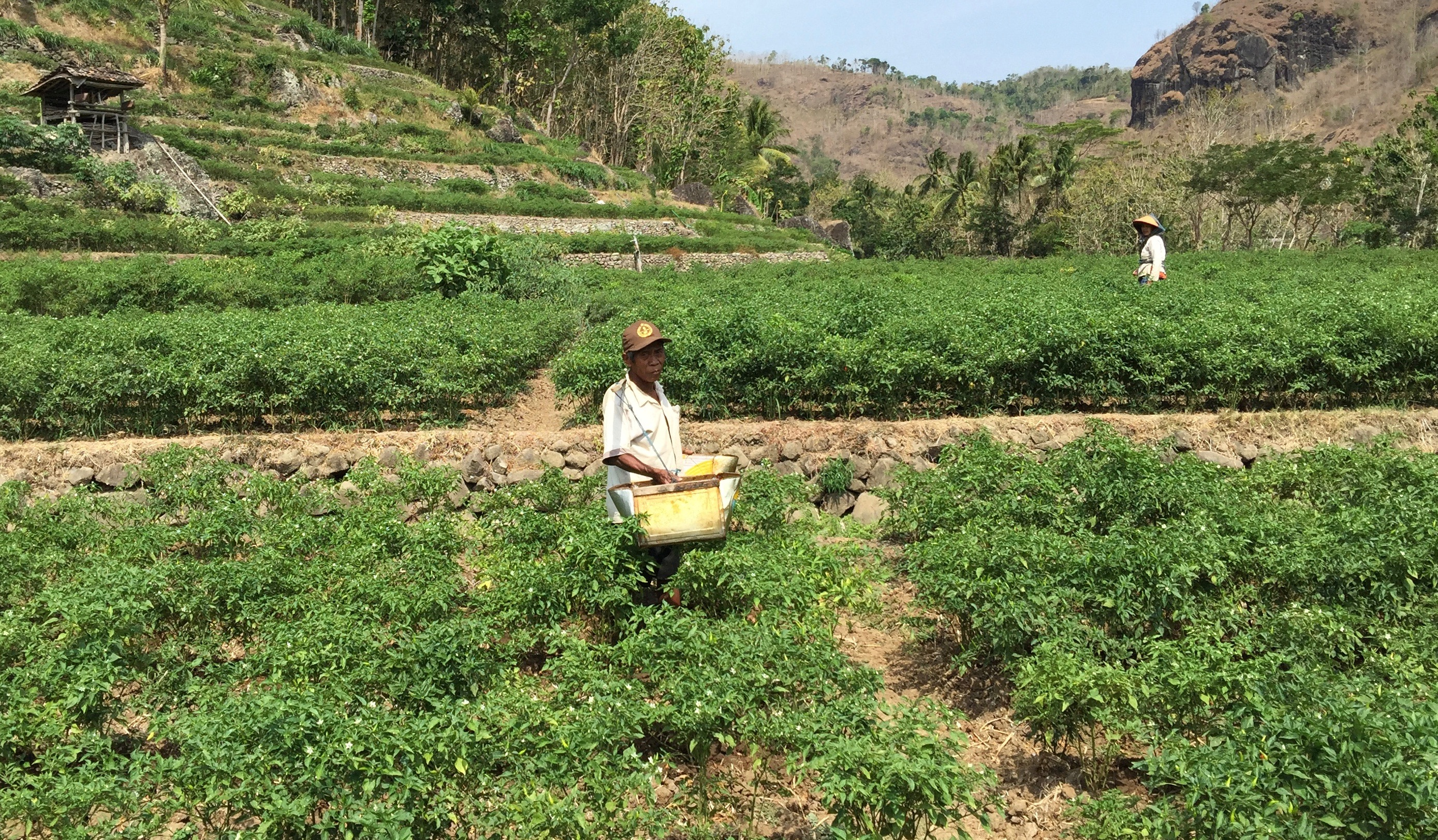 Ngadimin in his field in Ketung Miri village in Indonesia's Special Region of Yogyakarta in October 2015. Normally the field would be flooded, but his rice harvest failed due to drought so he planted tobacco and chilis.