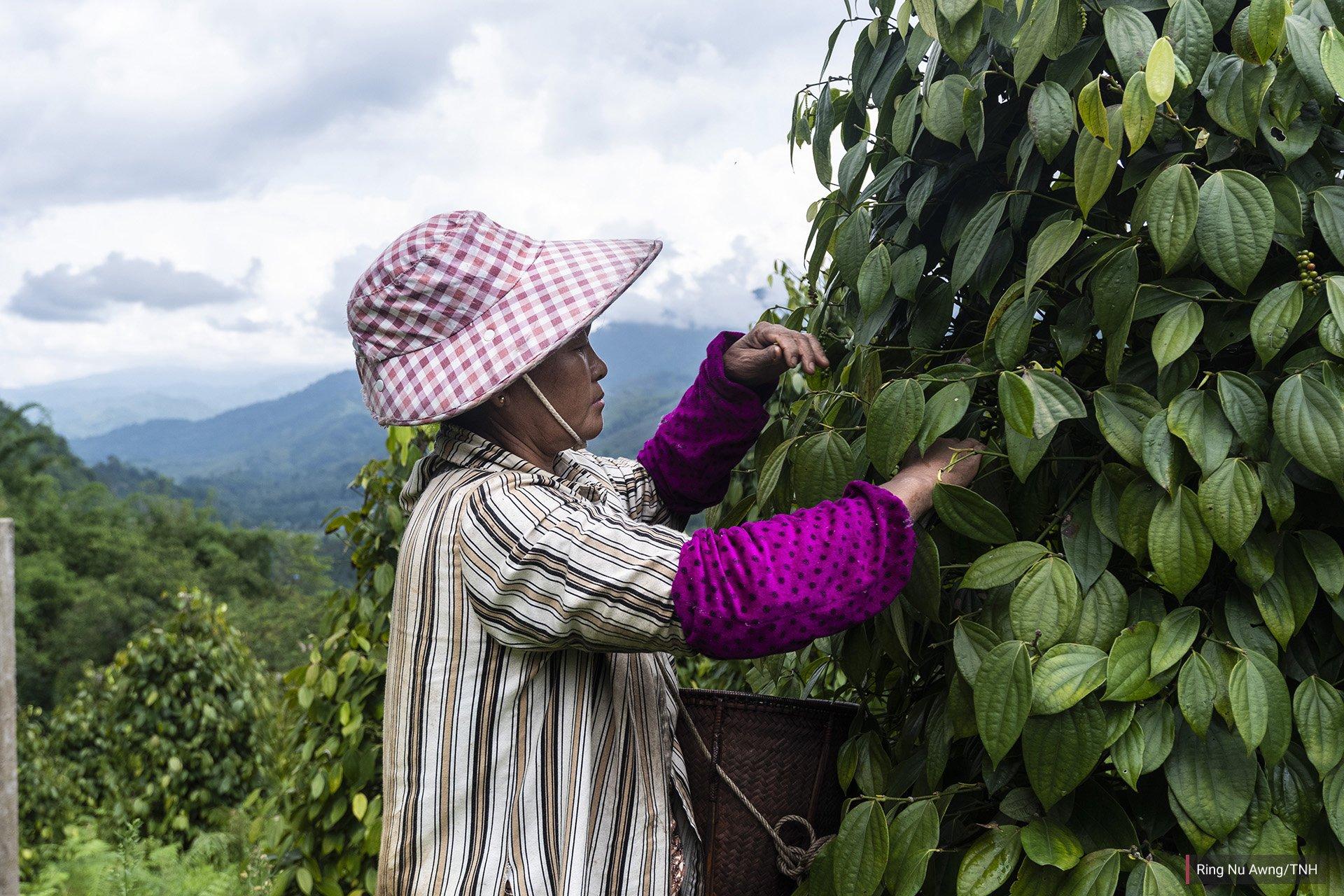 Labang Nan Doi, 56, picks peppercorns