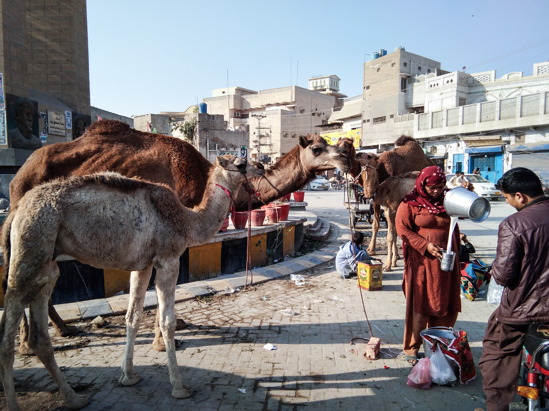 A woman with two camels in town pours camel milk for a man on a motorcycle.