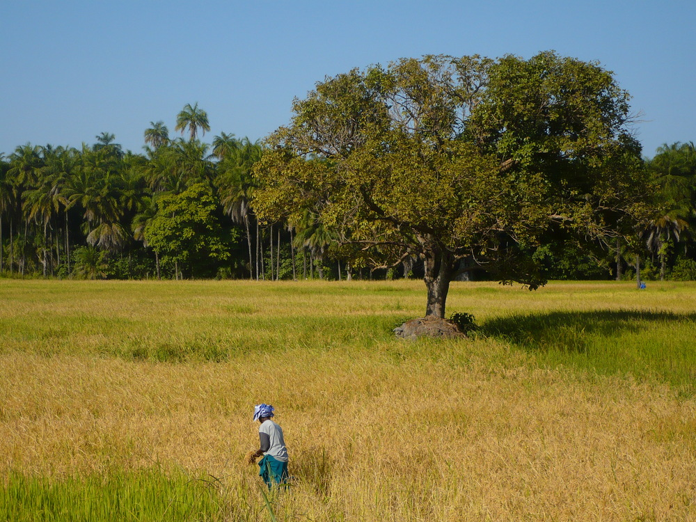 Rice cultivation in Casamance, Senegal