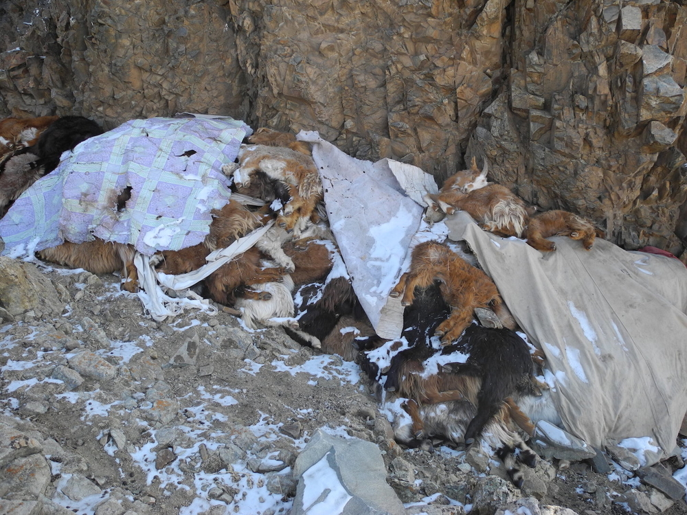 Dead livestock that succumbed to Mongolia's harsh winter