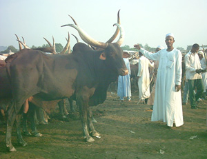 [Central African Republic (CAR)] Herdsmen and their cattle at Ngola Market, the main cattle market of Bangui, capital of the Central African Republic. Date taken 19 Nov 2003.