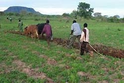 [Zimbabwe] Farmers prepare their fields for a Save the Children UK agricultural recovery programme in Nyaminyami, Zimbabwe.