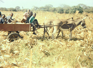 [Zambia] Youths transporting maize from the field using the donkey cart supplied by the World Bank funded IMT project.