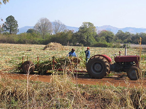 [Swaziland] Swazi farmers cultivating crops in Malkerns.