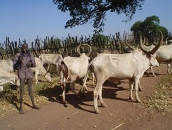 [Sudan] A young boy taking cattle for grazing in Yirol county. [Date picture taken: 11/27/2005]