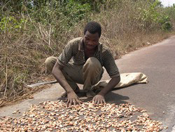 [Cote d'Ivoire] Farmer drying cocoa beans on a road near Gagnoa in southern Cote d'Ivoire.
