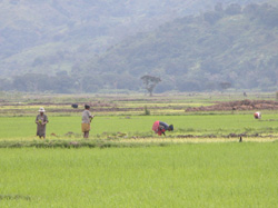 [Madagascar] Rice is Madagascar's staple food. [Date picture taken: 2005/07/27]