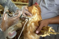 [Africa] Vaccinating poultry against avian flu.