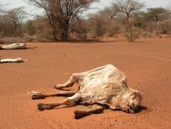 [Kenya] Livestock that have died of hunger and thirst in Kenya's drought-stricken Mandera district. [Date Picture taken: 03/02/2006]