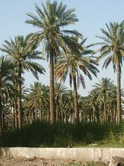 [Iraq] Date palms disease has caused a huge loss to the Iraqi economy. [Date picture taken: 05/13/2006]