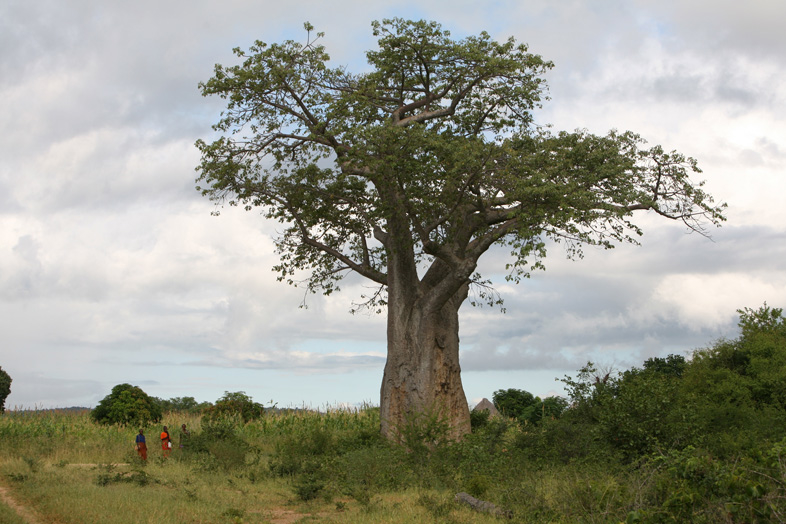 Residents standing near a baobab tree, Zambia, March 2007. The baobab is found in the savannas of African and India, mostly around the equator. It can grow up to 25 metres tall and can live for several thousand years.