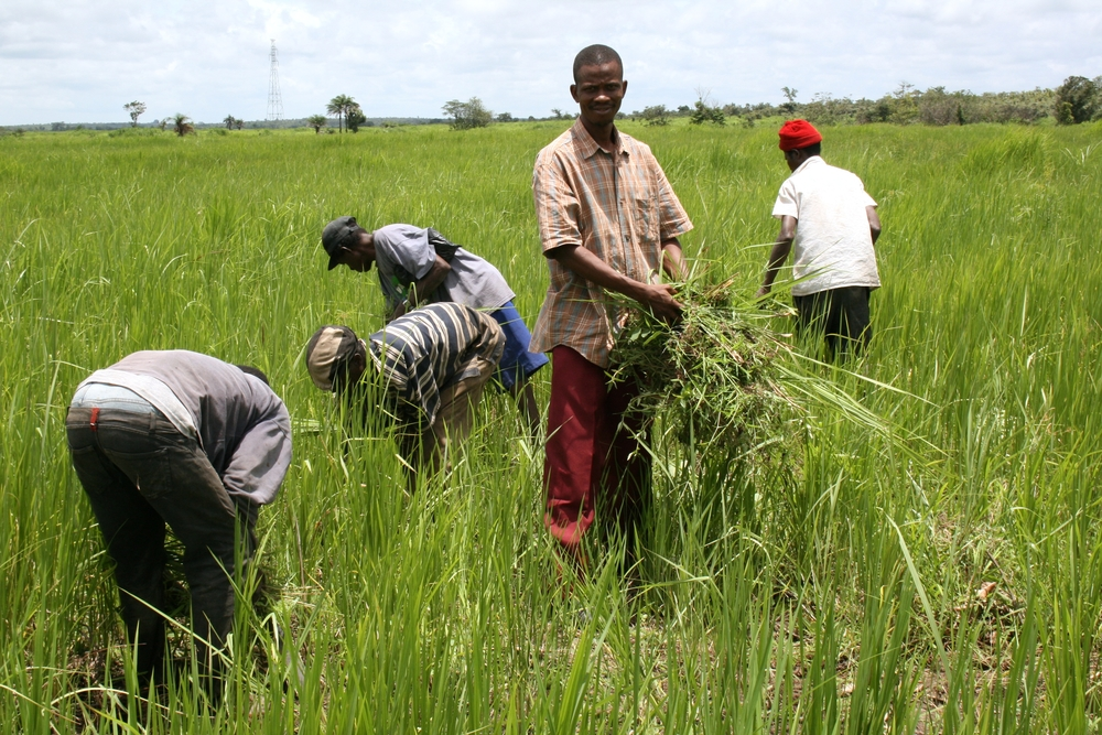 Peter Kagbo, project coordinator of a rural development association at the village of Masongbo near Makeni, in a rice field that is part of the cooperative he runs.