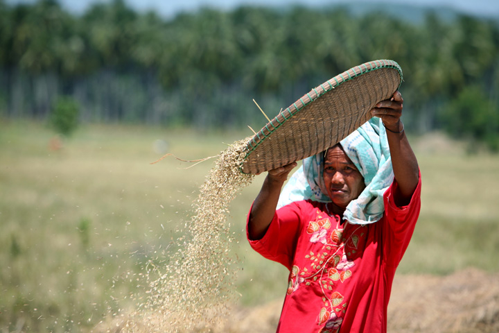 A farmer cleans rice in Minguindano Province, Mandanao Island in the southern Philippines, March 2008.