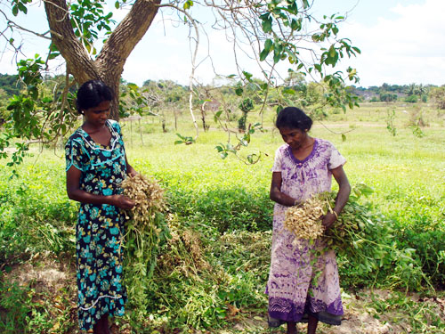 Sri Lankan women carry baskets of peanuts grown with seeds provided by FAO