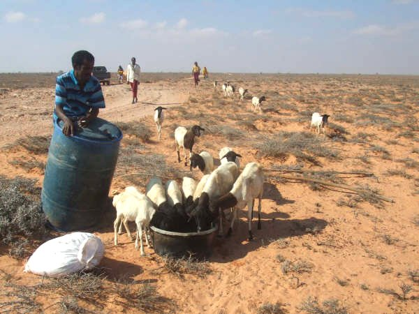 A man provides water for his livestock in south Mudug, central Somalia