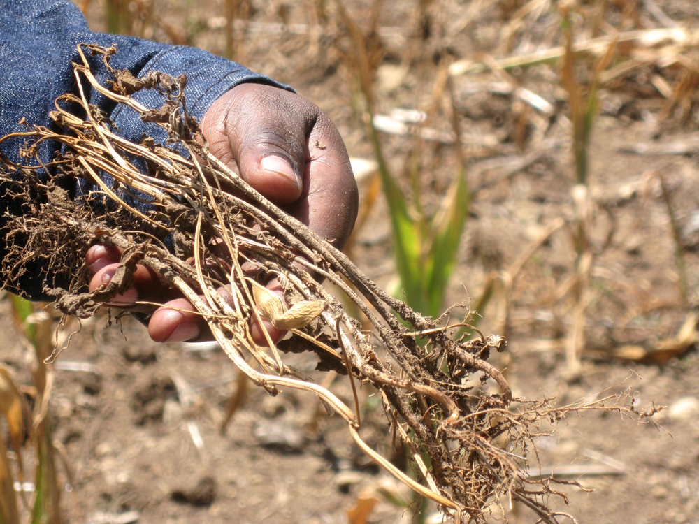 Withered bean plants: Farmers in the larger Nakuru area in Rift Valley province have experienced maize and beans crop failure in 2009 due to poor rainfall early in the year