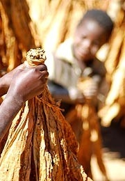 Child labourers working in Malawi's tobacco plantations