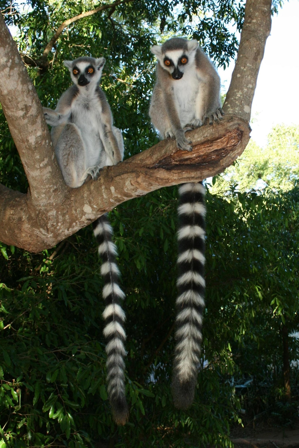 At risk: Lemurs are endemic to Madagascar