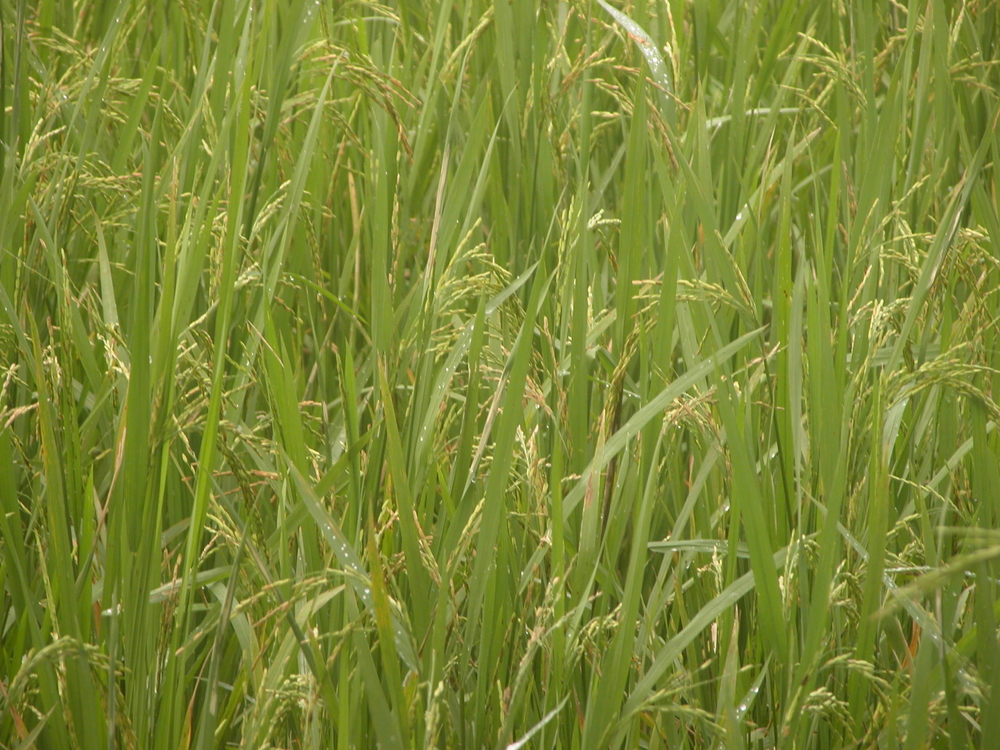 Poor monsoons affected rice yields in 2009