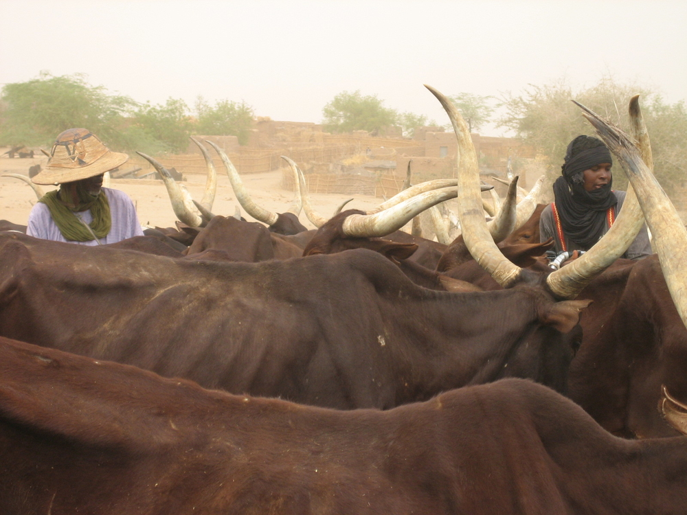Cattle in Zinder region, Southern Niger