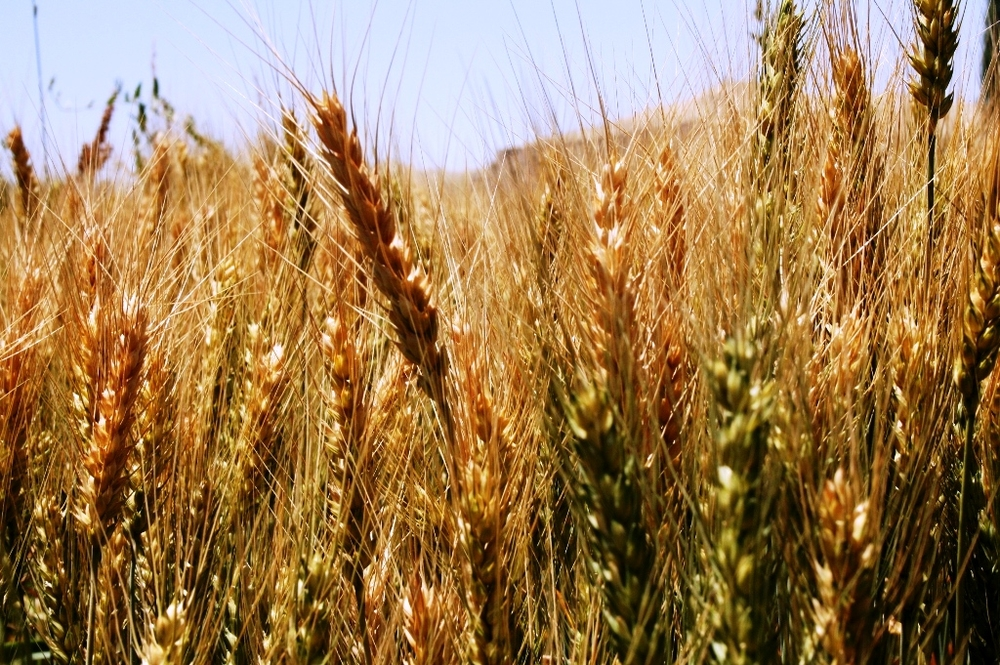 A wheat field in Bamiyan Afghanistan