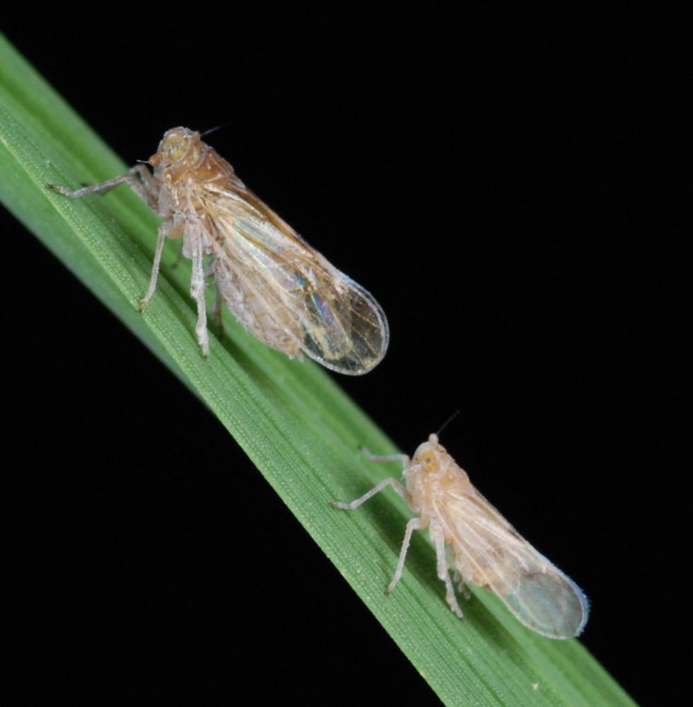 The brown planthopper is a major pest of rice in Asia. Over usage of pesticides has resulted in a resurgence of infestations