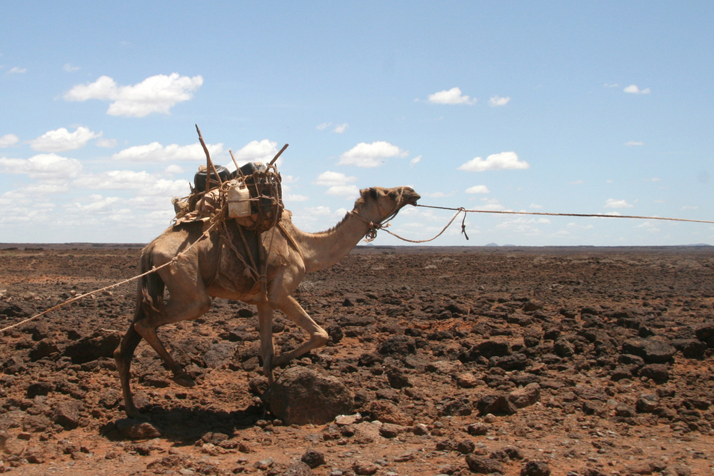A camel caravan in northern Kenya. Conflict in Somalia is spilling over into parts of northeastern Kenya