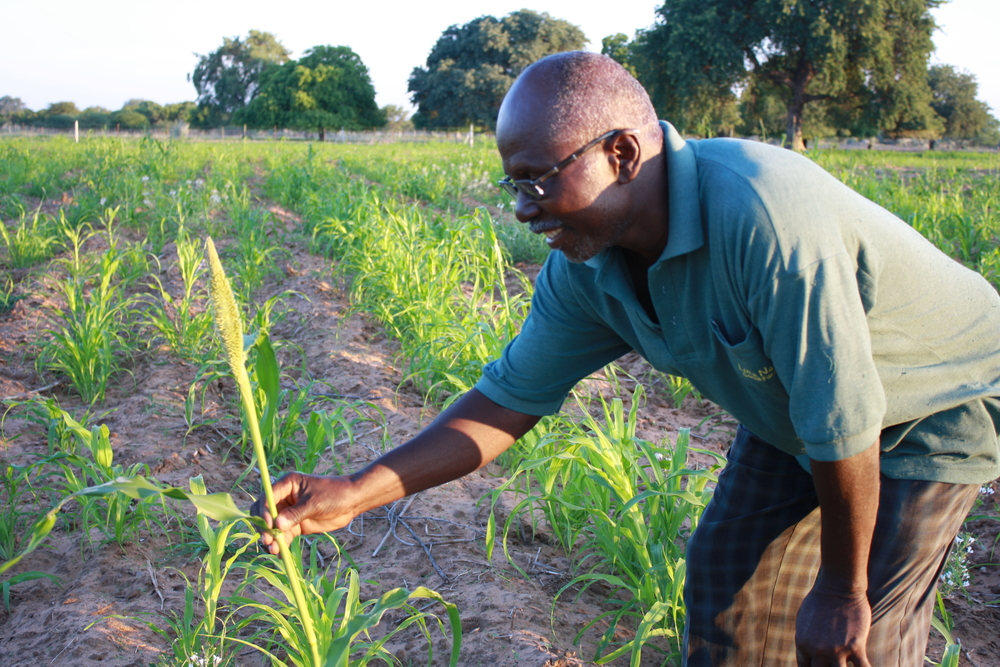 Evard Haukongo with a millet plant in the test patch where he used conservation agriculture techniques