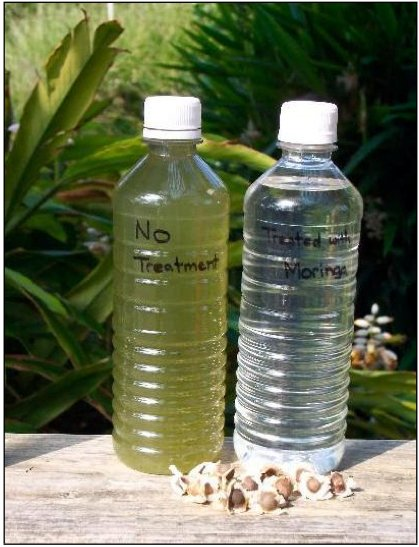 Water before being treated with moringa seeds and after. The treatment can kill bacteria up to 90-98% in dirty water