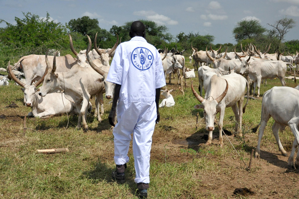 FAO vaccinating cattle at a camp in Terkeka, South Sudan