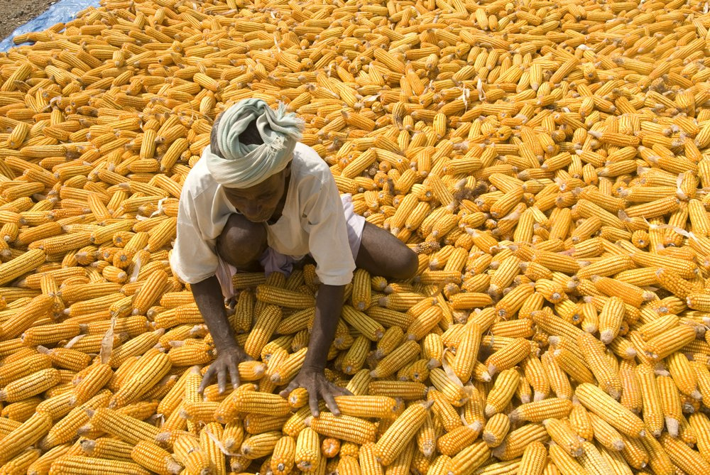 A farmer works to sort his maize crop