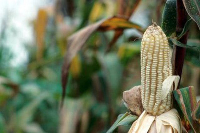 Maize. For generic use