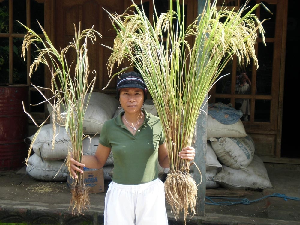 An Indonesian woman shows the difference between SRI-grown rice and that grown by traditional means