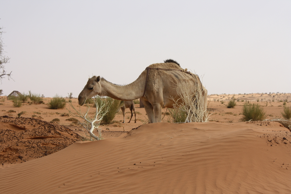 Even camels have not been spared by the drought in Mauritania