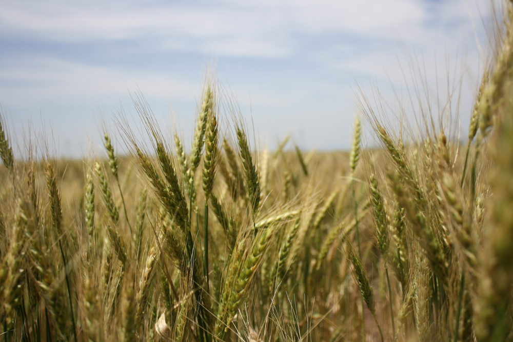 Hardier varieties of wheat bred at the Ethiopia Institute of Agricultural Research's Kulumsa research station in south eastern Ethiopia