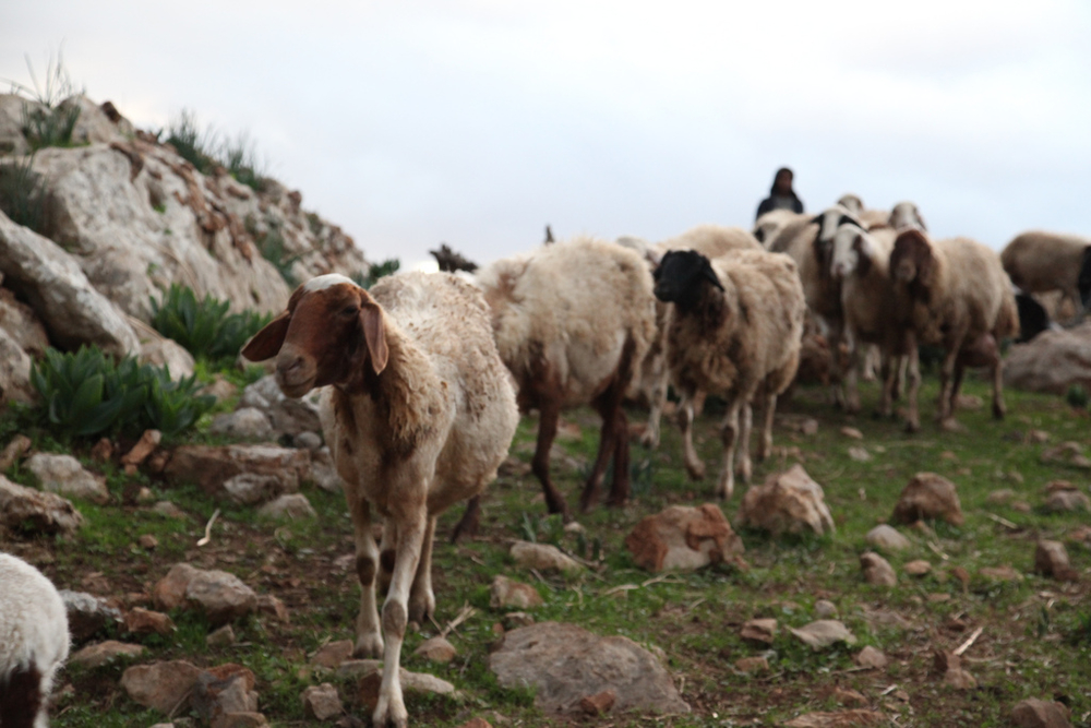 A flock of sheep near the village of Al-Maitah in the Jordan Valley. Palestinian herding communities forced to evacuate from firing zones cannot move far with their animals