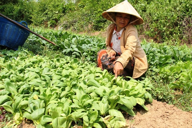 A subsistence farmer tends to her crops. Agriculture is responsible for over 50 percent of the Lao GDP. With subsistence farming the main occupation, agriculture is the principal economic sector, rice being the staple crop