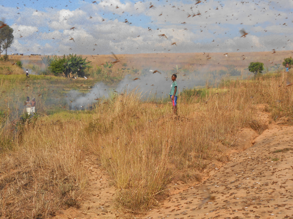 Communities trying to protect their fields from locusts using smoke