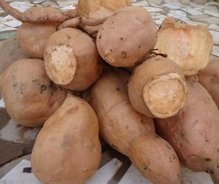 Orange-flesh sweet potato variety being introduced into the market by ISRA, HarvestPlus (IFPRI), and Yaajeende, in Senegal