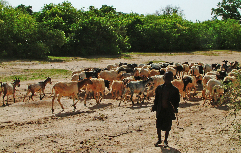 A young boy in Burkina Faso takes his father's herd of sheep and goats out in search of food and water