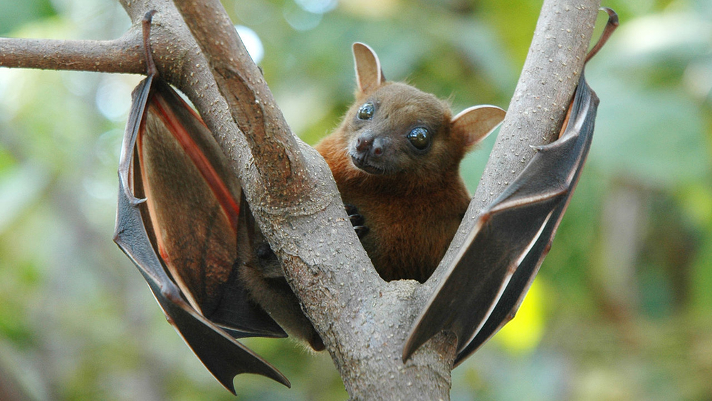 Lesser short-nosed fruit bat (Cynopterus brachyotis)