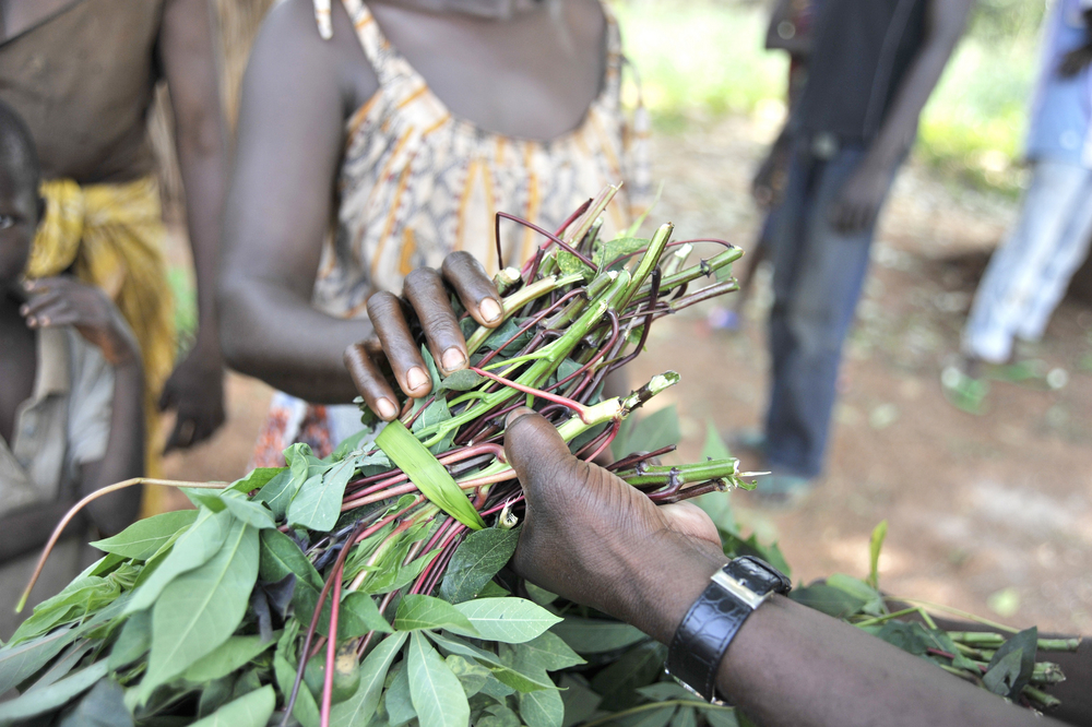 Running out: almost all farmers in CAR need more seeds for the next planting season