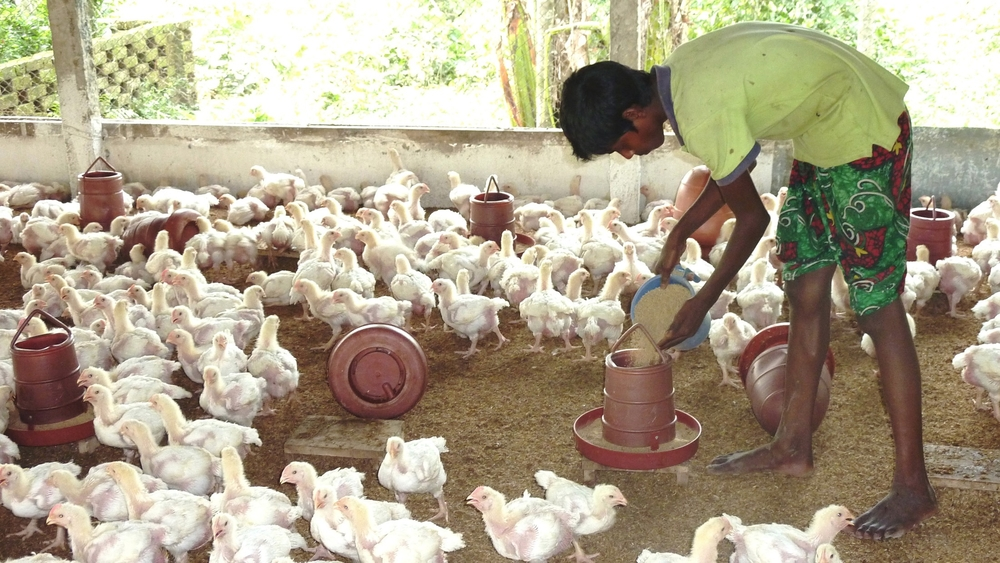 A boy feeds chickens in northern Bangladesh. It is estimated that due to poultry feed being manufactured from tainted leather tannery waste, up to 25 percent of chickens in country contain harmful levels of chromium.